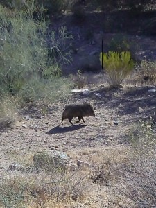 Javelinas in the desert